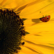 Bright Red Ladybug on a Warm Yellow Sunflower — Stock Photo