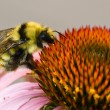 Bumblebee on a Cone Flower Close Up — Stock Photo
