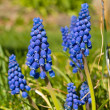 Tiny Cluster Flowers Grape Hyacinths in a Garden — 图库照片