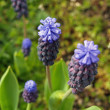 Tiny Cluster Flowers Grape Hyacinths in a Garden — Photo #3394291