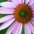 Cone Flower, also known as Echinacea, in a Garden — Stock Photo