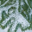 Snow Covered Pine Tree Branches Close Up — Stock Photo #3647189