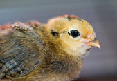 Little yellow and orange fuzzy chick portrait — Stockfoto