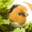 Guinea pig is sitting between endive - Stock Photo