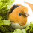 Guinea pig is sitting between endive — Stock Photo