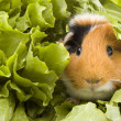 Stock Photo: Guinea pig is sitting between endive
