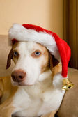 Scandinavian hound dog and christmas hat — Stock Photo