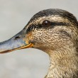Female mallard duck portrait — Stock Photo