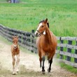 Colt and mare running - Stock Photo