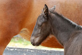 Foal sleeping next to mare — Stock Photo
