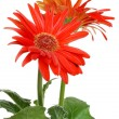 Isolated red Gerbera daisy — ストック写真