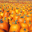 Large pumpkin patch — Stock Photo