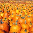 Stock Photo: Large pumpkin patch