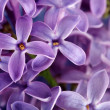 Macro lilac flower — Stock Photo