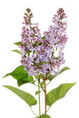 Isolated purple lilac — Stock Photo