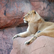 Royalty-Free Stock Photo: Female lion on a rock resting