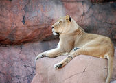 Female lion on a rock resting — Stock Photo