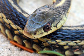Garter Snake close up — Stock Photo