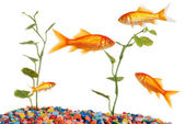 Goldfish Tank — Stock Photo