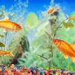 Stock Photo: Fishtank with goldfish