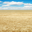 Wheat field with cloudy sky — Stock Photo