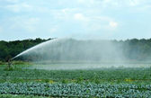 Watering a cabbage field — Stock Photo