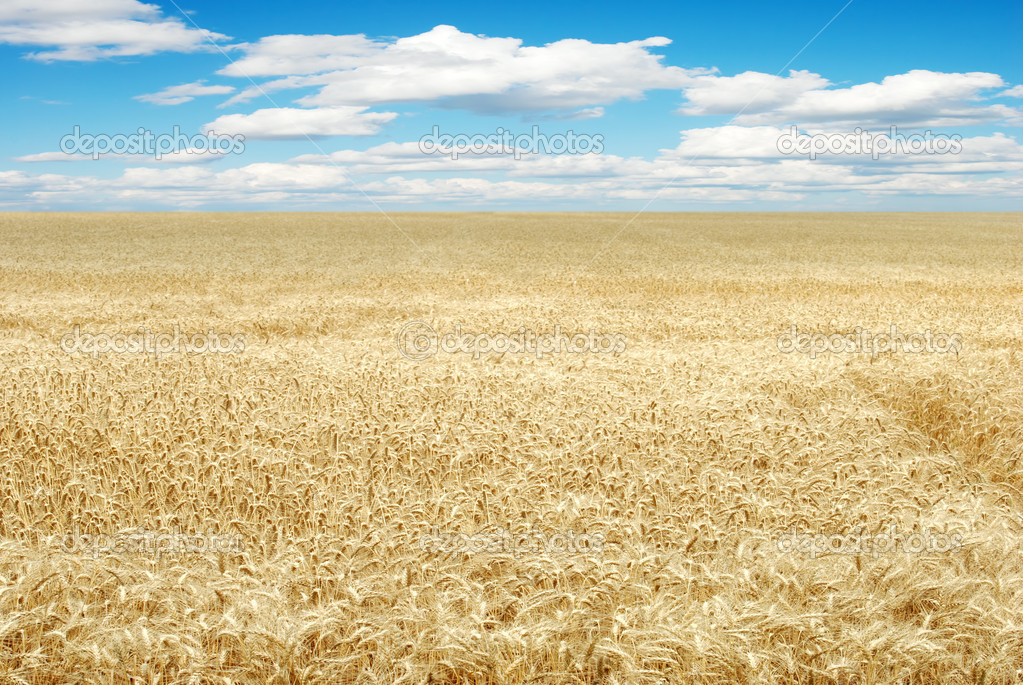 Large wheat field with blue sky and clouds   Stock Photo #3659197