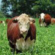 Stock Photo: Beef cattle