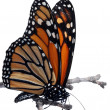 Isolated monarch butterfly on a branch — Stock Photo