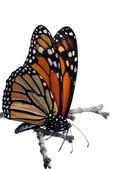 Farfalla monarca isolato su un ramo — Foto Stock