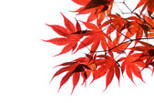 Isolated red japanese maple — Stock Photo