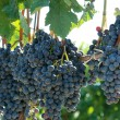 Stock Photo: Closeup concord grapes on vine shallow DOF