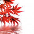 Isolated red japanese maple with water reflection - Stock Photo