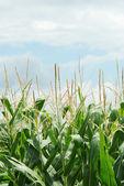 Closeup corn field shallow DOF — Stock Photo