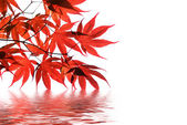 Isolated red japanese maple with water reflection — Stock Photo