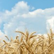 Wheat with sky and clouds — Stock Photo