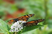 Deux papillons monarques — Photo