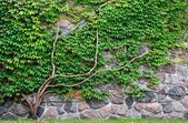 Vine growing on a rock wall — Stock Photo
