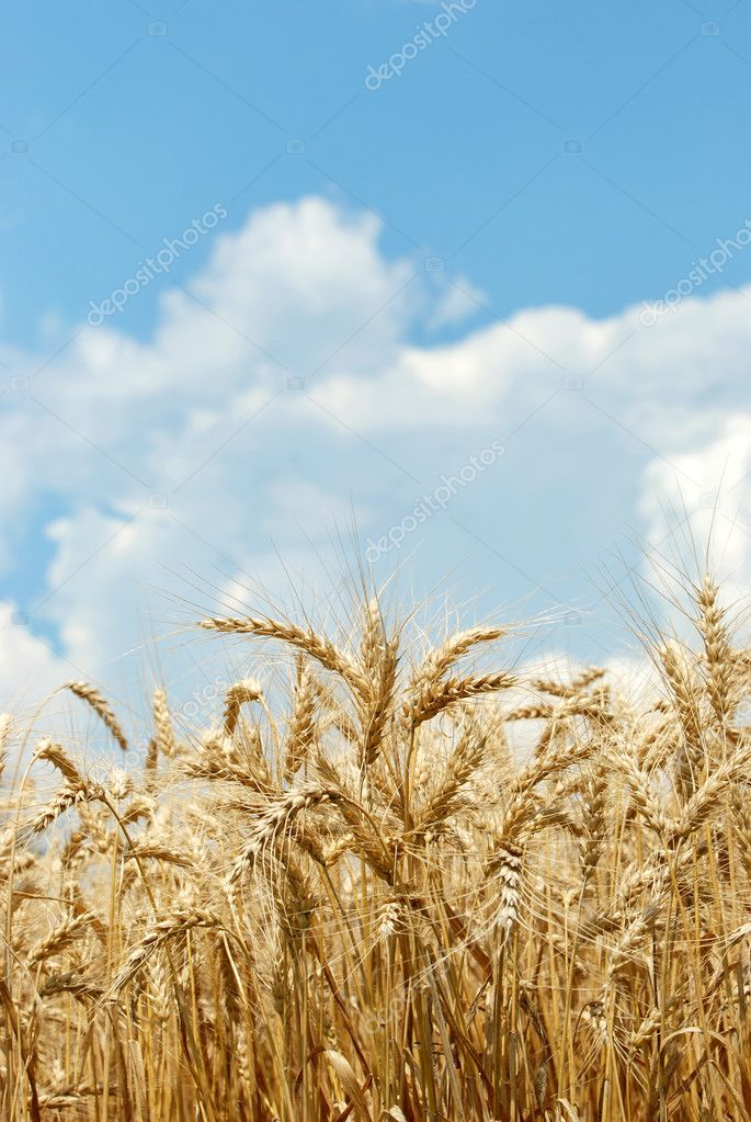 Closeup of a wheat field with sky and clouds — Stock Photo #3813889