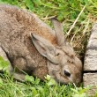 Stock Photo: Rabbit by den entrance