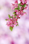 Pink apple blooms branch — Stock Photo