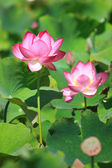 Pink lotus flower with green leaf — Stock Photo