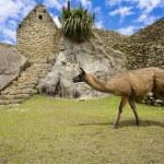 Lamas in Machu picchu — Stockfoto