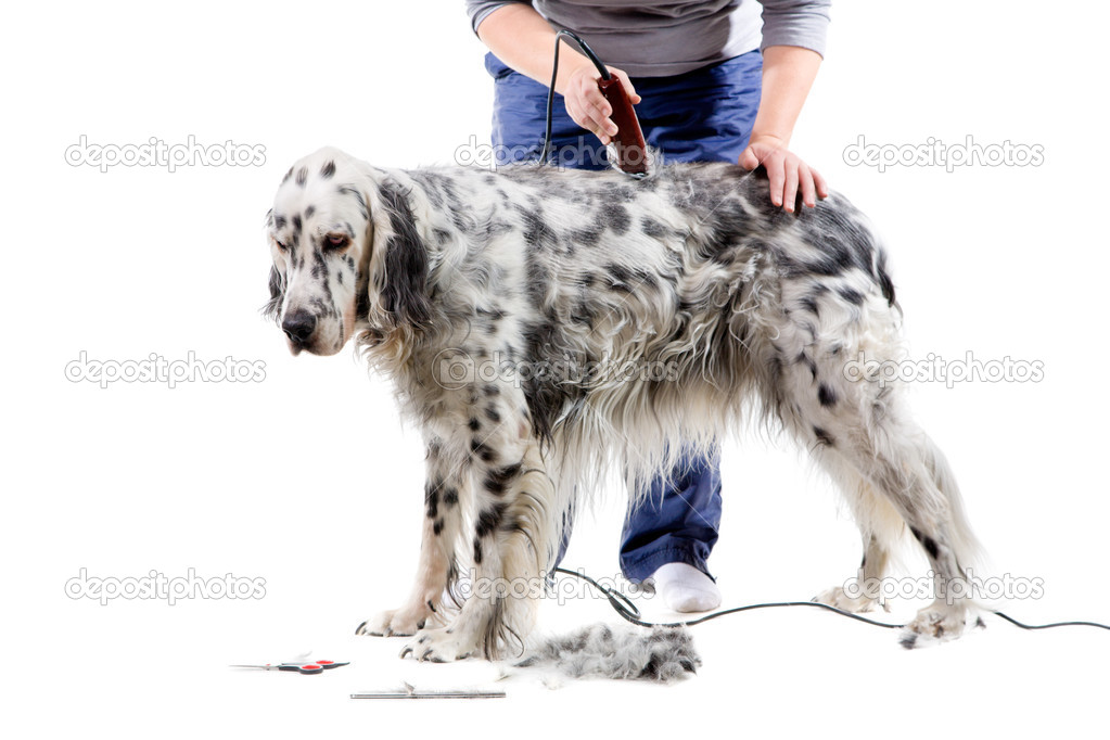 A professional is grooming an English Setter. Isolated on white background. — Stock Photo #2761901