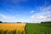 Wheat and corn — Stock Photo