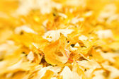 Golden leaves — Stock Photo