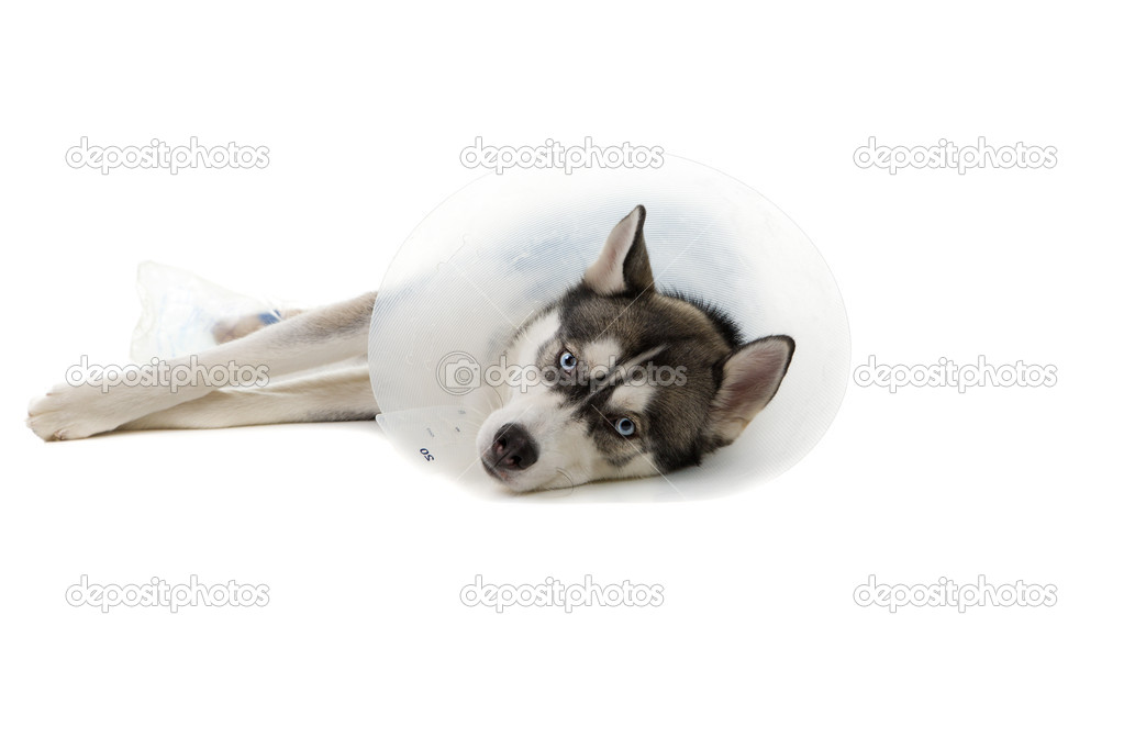 Siberian Husky puppy wearing an e-collar isolated on white background  Stock Photo #3697682