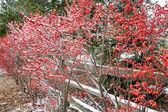 Hawthorn bushes — Stock Photo