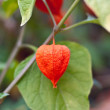 Stock Photo: Red physalis on green