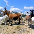 Herd of the Goats - Stock Photo